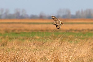 Short-eared owl (Asio flammeus) in flight, Norfolk, England, UK, February.  -  Robin Chittenden