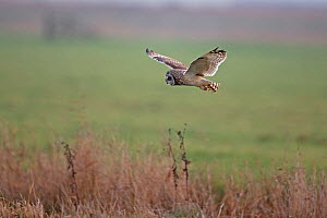 Short-eared owl (Asio flammeus) Norfolk, England, UK, February.  -  Robin Chittenden