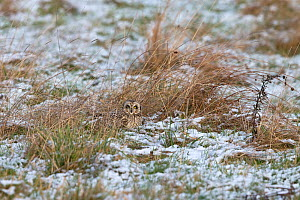 Short-eared Owl (Asio flammeus) on ground in snow, Norfolk, England, UK, January.  -  Robin Chittenden