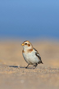 Snow bunting (Plectrophenax nivalis) Norfolk, UK January. - Robin Chittenden
