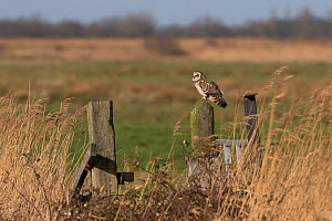 Short-eared Owl (Asio flammeus) perched on fence post, Norfolk, England, UK, February.  -  Robin Chittenden