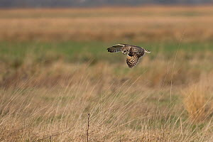 Short-eared owl (Asio flammeus) flying, Norfolk, England, UK. February.  -  Robin Chittenden