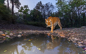 Bengal tiger (Panthera tigris tigris) dominant male approaching 'Beja pani' waterhole, Kanha National Park, Central India. Camera trap image.  -  Yashpal Rathore