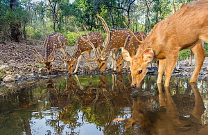 Spotted Deer / Chital deer (Axis axis) with Sambar deer (Rusa unicolor) drinking water at waterhole Kanha National Park, Central India. Camera trap image. - Yashpal Rathore