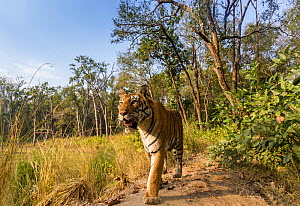 Bengal tiger (Panthera tigris tigris) (T27) walking on bund / dam wall trail. Kanha National Park, Central India. Camera trap image.  -  Yashpal Rathore