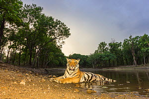 Bengal tiger (Panthera tigris tigris) sub adult tigress resting at dusk. Kanha National Park, Central India. Camera trap image. - Yashpal Rathore