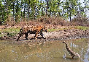 Bengal tiger (Panthera tigris tigris) male tiger (T30) emerging out of watering hole, with heron, Kanha National Park, Central India. Camera trap image.  -  Yashpal Rathore