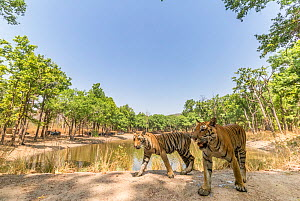 Bengal tiger (Panthera tigris tigris) with one of the three sub-adult female cubs, passing through dam wall. Tourist in safari vehicle watching from other side of pond. Kanha National Park, Central In... - Yashpal Rathore
