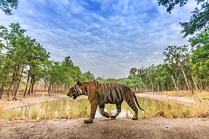 Bengal tiger (Panthera tigris tigris) dominant male (T29) walking on mud dam wall. Kanha National Park, Central India. Camera trap image.  -  Yashpal Rathore