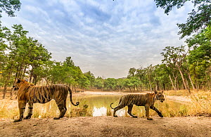 Bengal tiger (Panthera tigris tigris) tigress (T27) with one of the three sub-adult female cubs, passing over dam wall. Tourist in safari vehicle watching from other side of pond. Kanha National Park,...  -  Yashpal Rathore