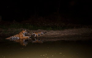 Bengal tiger (Panthera tigris tigirs) cub aged less than two months, nervously approaching mother in waterhole at night. Kanha National Park, Central India. Camera trap image.  -  Yashpal Rathore