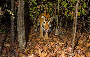 Bengal tiger (Panthera tigris tigris) tigress (T32) feeding on Spotted deer / Chital (Axis axis) killed by her earlier that day while her young cub watches. Kanha National Park, Central India. Camera...  -  Yashpal Rathore