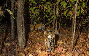 Bengal tiger (Panthera tigris tigris) cub dless than 2 months, near Spotted deer / Chital (Axis axis) carcass brought by mother. Kanha National Park, Central India. Camera trap image. - Yashpal Rathore