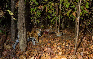 Bengal tiger (Panthera tigris tigris) cub aged less than 2 months, watching mother feed on Spotted deer / Chital (Axis axis) carcass. Kanha National Park, Central India. Camera trap image. - Yashpal Rathore