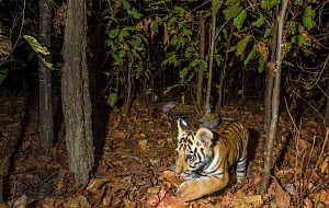 Bengal tiger (Panthera tigris tigris) cub aged less than 2 months, playing near Spotted deer / Chital (Axis axis) carcass brought by mother. Kanha National Park, Central India. Camera trap image. - Yashpal Rathore