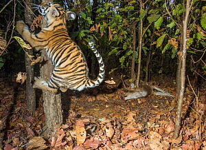 Bengal tiger (Panthera tigris tigris) cub aged less than 2 months, playing near to Spotted deer / Chital (Axis axis) carcass brought by mother. Kanha National Park, Central India. Camera trap image. - Yashpal Rathore