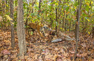 Bengal tiger (Panthera tigris tigris) tigress (T32) dragging Spotted deer / Chital (Axis axis) kill into thicket to hide it from predators and scavengers . Kanha National Park, Central India. Camera t... - Yashpal Rathore