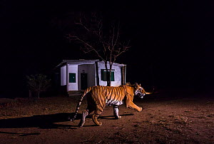 Bengal tiger (Panther tigris tigris) 'T27' patrolling her territory in front of forest guard house along edge of the park. Kanha National Park, Central India. Camera trap image.  -  Yashpal Rathore