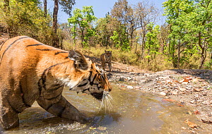 Bengal tiger (Panthera tigris tigris) female (T27) acting cautiously as dominant male (T29) approaches watering hole Kanha National Park, Central India. Camera trap image.  -  Yashpal Rathore
