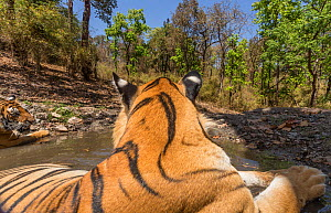 Bengal tiger (Panthera tigris tigris) dominant male (T29) and resident female (T27) cooling off in a waterhole Kanha National Park, Central India. Camera trap image.  -  Yashpal Rathore