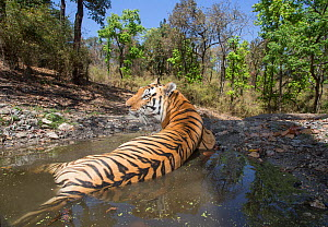 Bengal tiger (Panthera tigris tigris) dominant male (T29) cooling off in a waterhole Kanha National Park, Central India. Camera trap image. - Yashpal Rathore