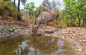 Sambar deer (Rusa unicolor) stag drinking at waterhole Kanha National Park, Central India. Camera trap image. - Yashpal Rathore