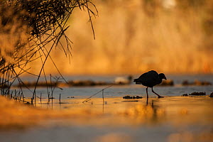 Purple swamphen (Porphyrio porphyrio). Sado Estuary Natural Reserve, Portugal. December.  -  Pedro  Narra