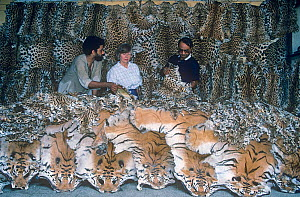 Indian police and undercover antipoaching agent Anne Wright with a haul of Tiger and Leopard skins confiscated from poachers in Central India. Kolkata India. 1989.  -  Jiri Lochman