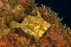 Planehead / Common filefish (Stephanolepis hispidus), Canary Islands. - Pascal Kobeh