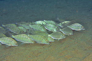 Group of sand steenbras / Striped seabreams (Lithognathus mormyrus) eating, Canary Islands - Pascal Kobeh