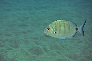 African / Moroccan white seabream (Diplodus sargus cadenati), Canary Islands - Pascal Kobeh