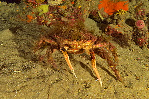 Lesser / Little spider crab (Maja crispata), Canary Islands - Pascal Kobeh