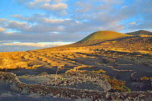 The grapevines grown on the volcanic soils of Lanzarote, Canary Islands - Pascal Kobeh