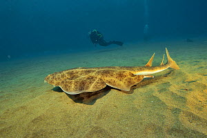Angel shark (Squatina squatina) swimming above the sandy bottom with divers in the background, Canary Islands - Pascal Kobeh
