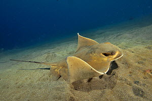 Common eagle ray (Myliobatis aquila) has just been searching in the sand for a prey, Canary Islands - Pascal Kobeh