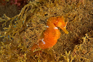 Long-snouted seahorse (Hippocampus guttulatus), Canary Islands - Pascal Kobeh