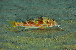 Striped / Red mullet (Mullus surmuletus) looking for food with its chin barbels out, Canary Islands  -  Pascal Kobeh