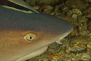 Close-up of the head of a White tip shark (Triaenodon obesus) laying on the bottom with a Remora (Echeneis naucrates) on its head, Sulu sea, Philippines  -  Pascal Kobeh