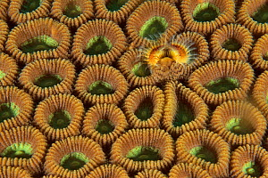 Marine polychaete tube worm / feather duster worm (fam. Sabellidae) in a hard coral (fam. Faviidae), Sulu sea, Philippines - Pascal Kobeh