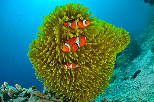 False clown anemonefish (Amphiprion ocellaris) in a magnificent sea anemone (Heteractis magnifica), Sulu sea, Philippines - Pascal Kobeh