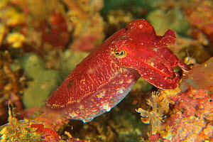 Papuan cuttlefish (Sepia papuensis), Sulu sea, Philippines - Pascal Kobeh