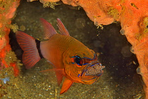 Ring-tailed / Golden cardinalfish (Ostorhinchus aureus) male incubating its eggs in its mouth, Sulu sea, Philippines  -  Pascal Kobeh
