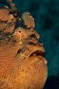 Head of a Giant anglerfish / frogfish (Antennarius commersoni / commerson), Sulu sea, Philippines  -  Pascal Kobeh