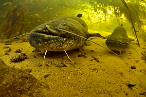Two Wels catfish (Silurus glanis) on the bottom of a river. The one on the foreground has a scar on its face probably caused by a fishing hook, Cher River, Loir-et-Cher Department, France  -  Pascal Kobeh
