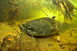Wels catfish (Silurus glanis) on the bottom of the river. Its face has a scar probably caused by a fishing hook. Cher River, Loir-et-Cher Department, France  -  Pascal Kobeh