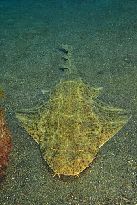 Angel shark (Squatina squatina) laying on the sand, Canary Islands - Pascal Kobeh