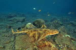 Angel shark (Squatina squatina) swimming above the reef, Canary Islands - Pascal Kobeh