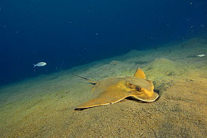 Common eagle ray (Myliobatis aquila) searching in the sand for a prey, Canary Islands - Pascal Kobeh