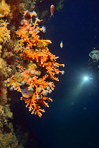 Scleractinia / Orange hard coral (Dendrophyllia ramea) with a diver in the background, Canary Islands - Pascal Kobeh