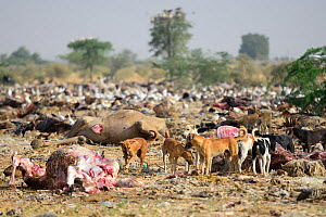 Feral dogs, living on garbage dump, these have become a serious threat to local wildlife. Bikaner, Rajasthan, India.  -  Enrique Lopez-Tapia